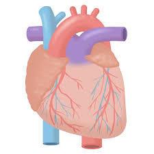 心臓1.jpg
