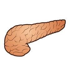 膵臓.jpg